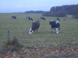 Glückliche Kühe am Biobetrieb in BEMAGRO in Malonty
