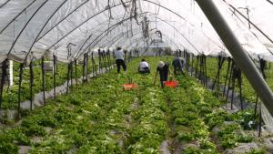 Salatkulturen in italienischen Folientunneln