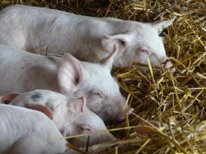 Glückliche Schweine der Biofarm Sasov