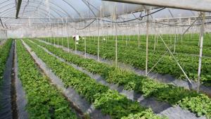 Erdbeeren im italienischen Folientunnel