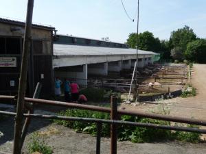 Die Schweine der Biofarm Sasov haben viel Platz, um sich im Freien auszutoben.