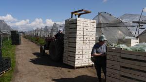 Abtransport des frisch geernteten und in Kisten verpackten Salats