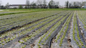 Salatanbau im Freiland
