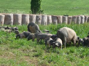 Ab und zu dürfen die Schweine sogar frei herumlaufen.