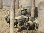 Die Freilandbehausung der Schweine auf der Biofarm Sasov